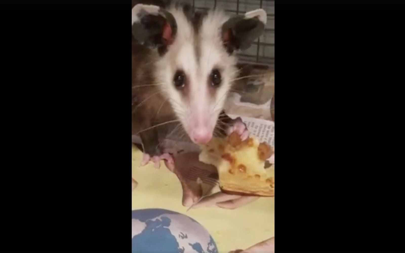 This Rescued Possum Guarding A Slice Of Pizza Is All Of Us Video Possum Animal Rescue Animals
