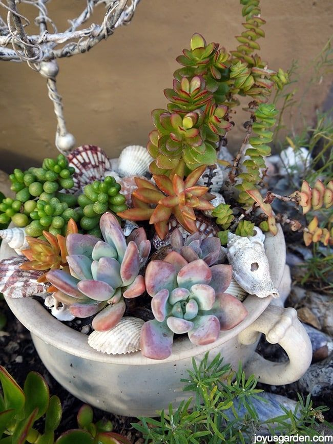 A mixed succulent planting in an old chamber pot. The shells are a fun accent.