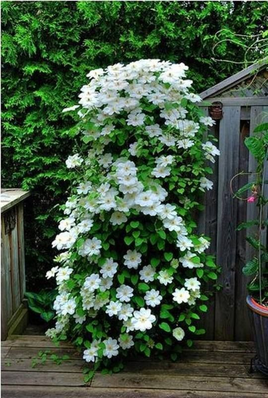 White Clematis ~ Ana Rosa