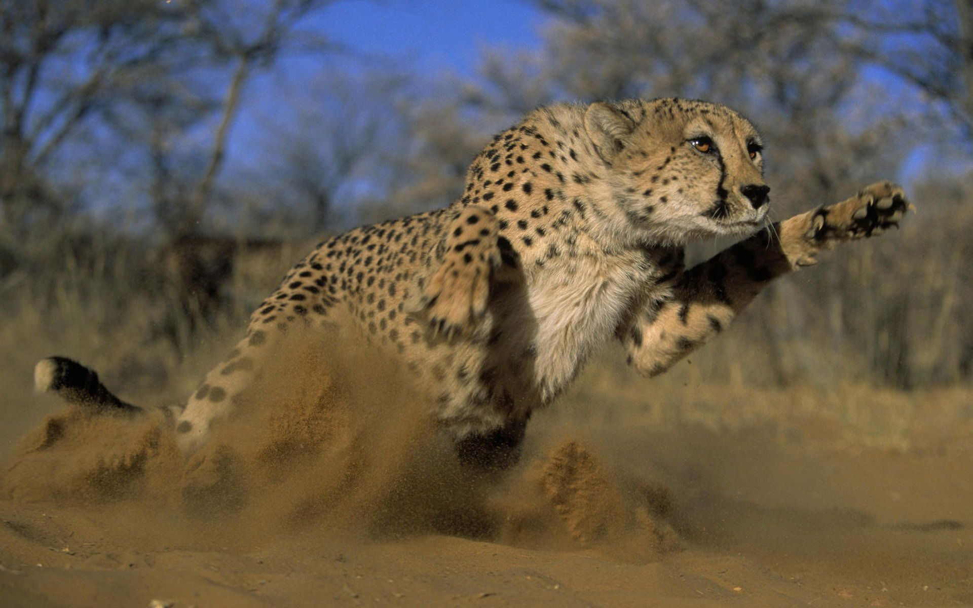 Cheetah HD Wallpapers Backgrounds Wallpaper