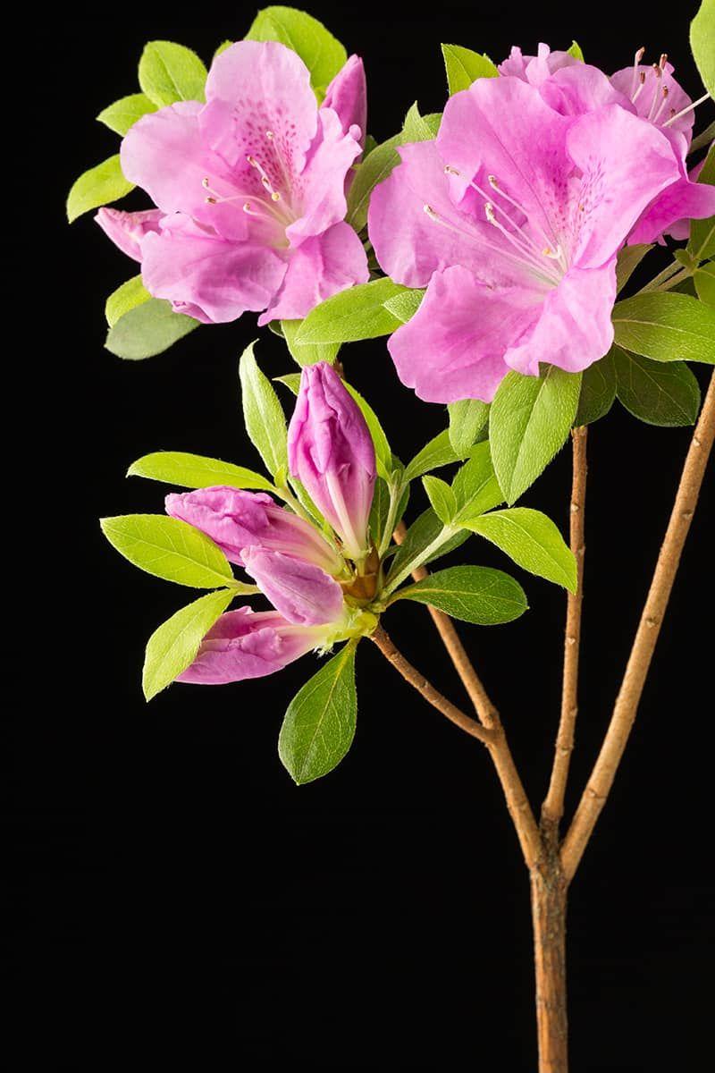 13 Types Of Azaleas Pictures Fact Guides In 2020 Azalea Flower Azaleas Beautiful Pink Flowers