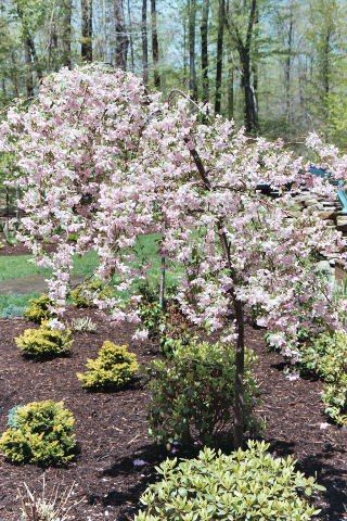 Crabapple Pruning Info When And How To Prune Crabapples Flowering Crabapple Tree Crabapple Tree Crab Apple
