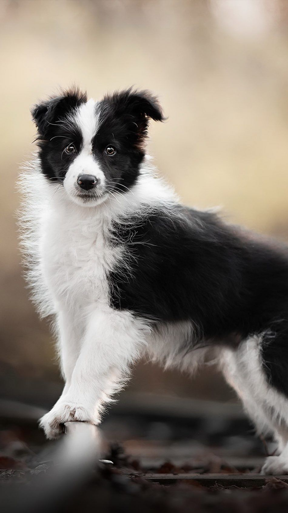 Border Collie Pet Dog Collie Dog Dogs Pet Dogs