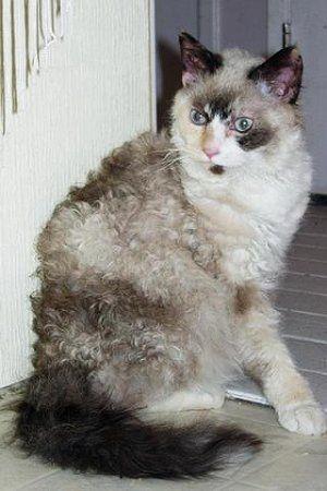 La Perm A Poofy Poodle Cat Cats Crazycats Cat Breeds La