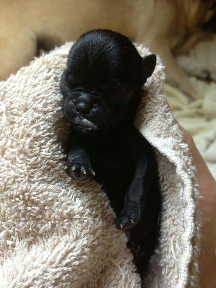 Newborn Black Pug Black Pug Pugs Puppies