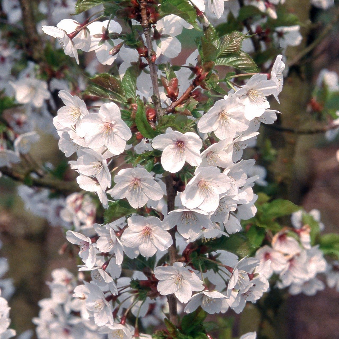 Ornamental Cherry White Flowers Are Massed On Upright Branches In Early Spring With Leaves Changing To Fiery C Ornamental Cherry Ornamental Trees White Flowers