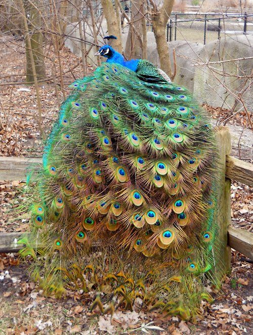 An entry from Emilialua | AN OSTENTATION OF PEACOCKS