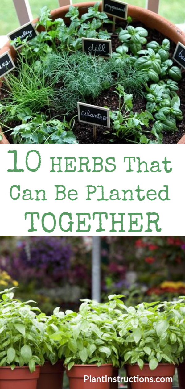 Herbs That Can Be Planted Together Plants Planting Herbs Herbs