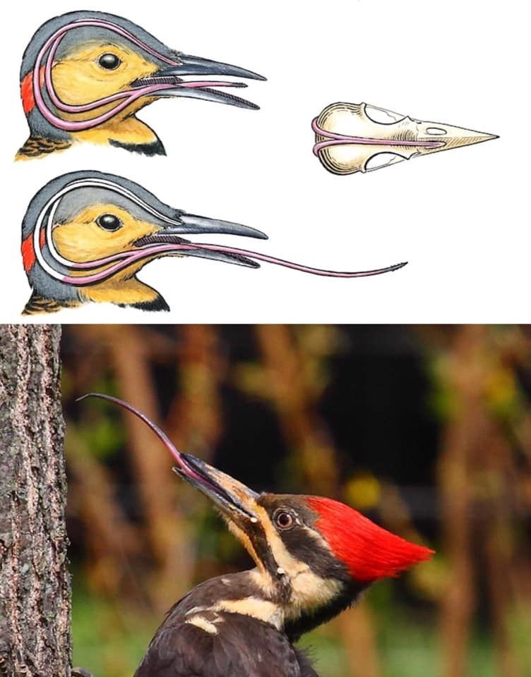 A woodpecker's tongue wraps around its head. When a