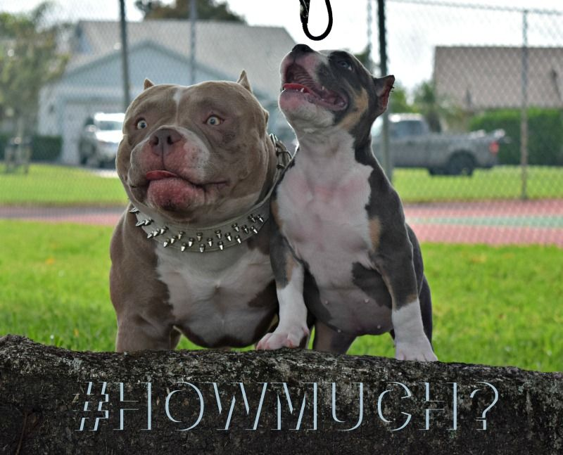 How Much Does An American Bully Cost Bully King Magazine