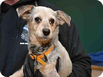 Maryland Heights, MO - Chihuahua Mix. Meet DOTTIE, a dog for adoption. http://www.adoptapet.com/pet/17630557-maryland-heights-missouri-chihuahua-mix