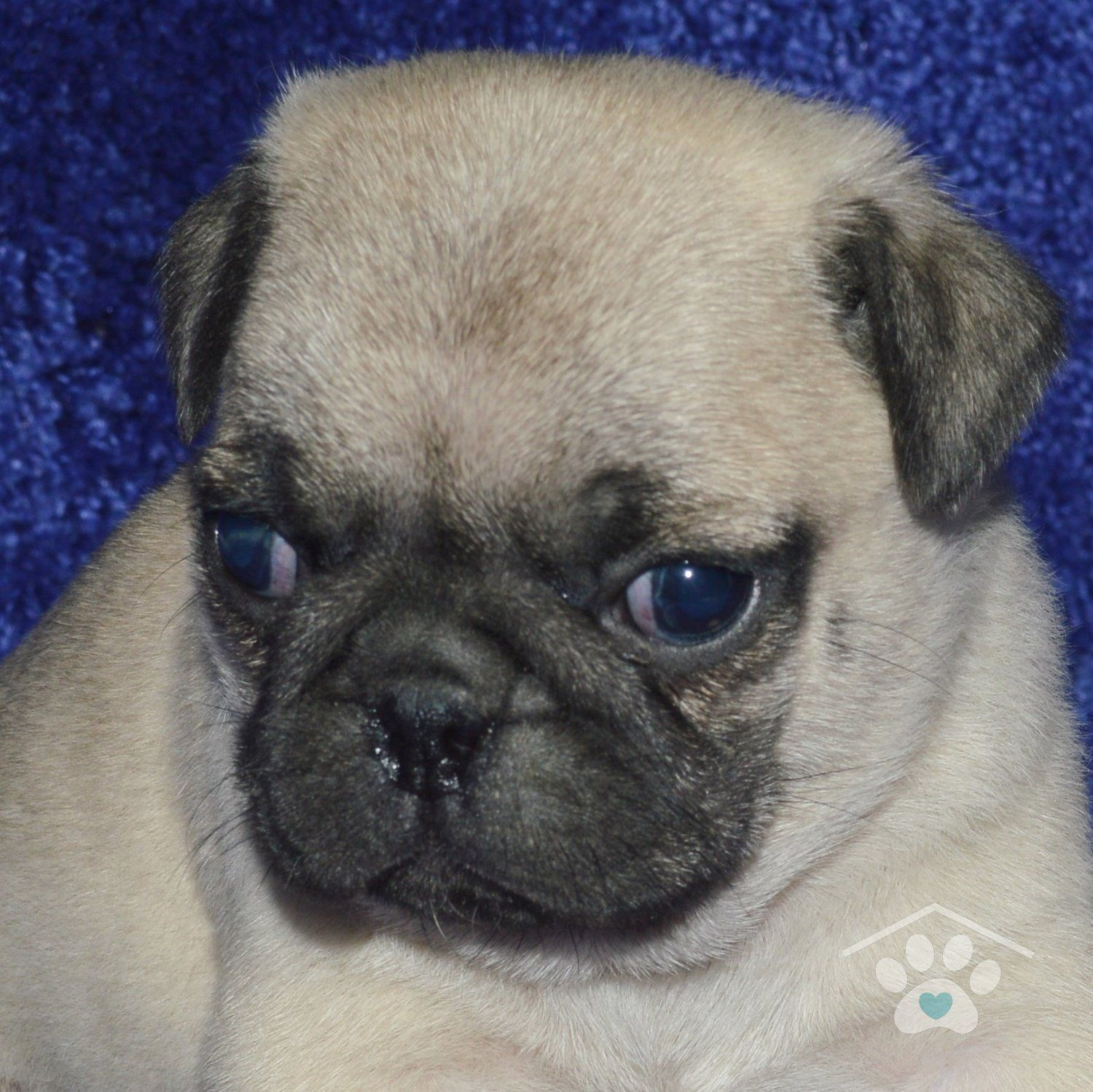 Meet Graham He Is A Handsome Male Fawn Pug Puppy With A Black