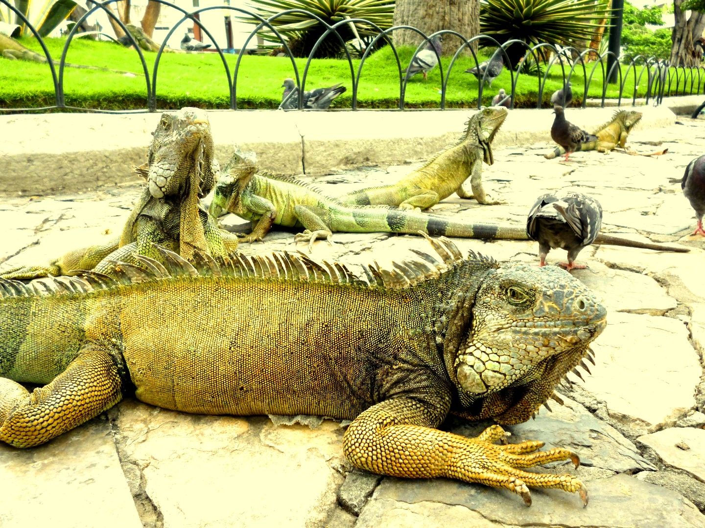 Iguanas walking in a the park across the street from Guayaquil's cathedral.