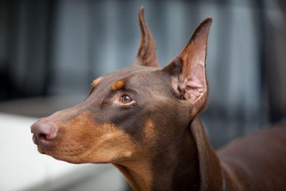 Beautiful Doberman Cooper Got To Love A Red Dobie Ooooh That Chocolate Noooose Doberman Rare Dogs Doberman Pinscher