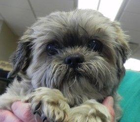 Gigi Is An Adoptable Shih Tzu Dog In Mason City Ia One Certainly