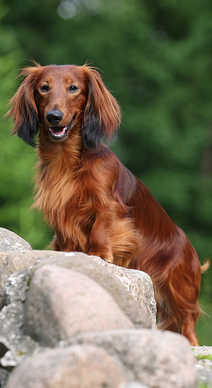 Pin by Erika Blake on Dogs Dachshunds Dachshund dog