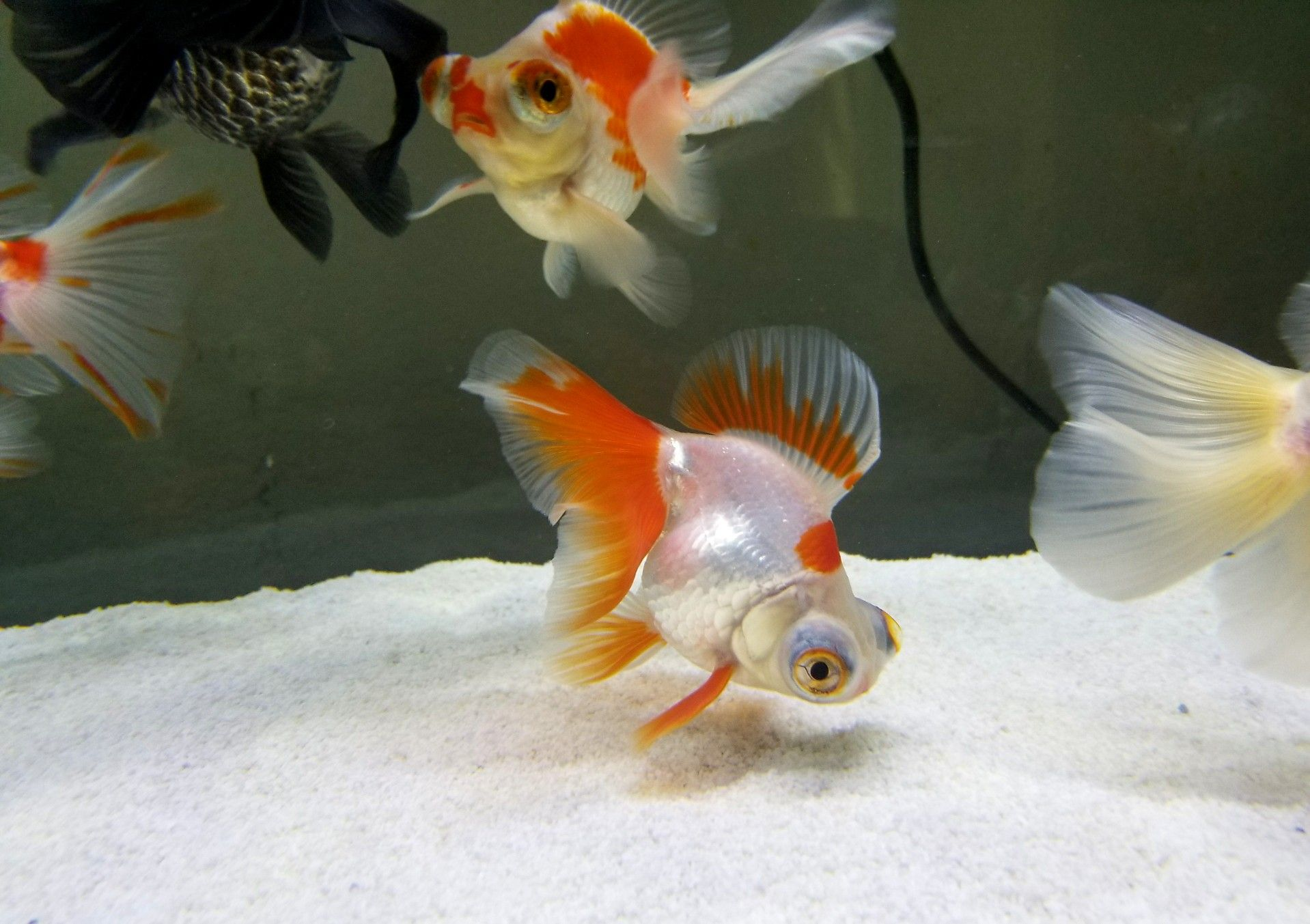Goldfish by Eileen McHenry on Goldfish Pet shop, Fish pet