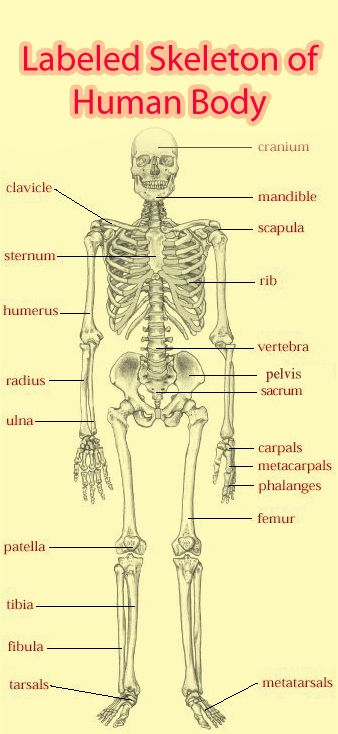 Labeled Skeleton Of Human Body Almost Like Anat Phys Class All
