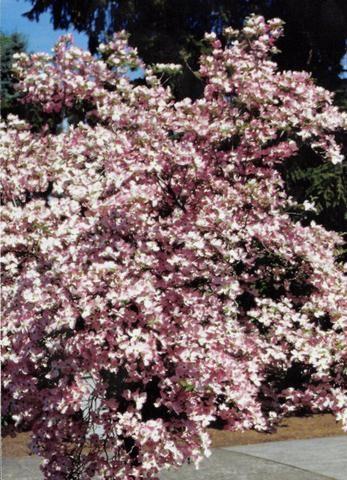 Stellar Pink Dogwood Pink Dogwood Pink Dogwood Tree Pink Plant