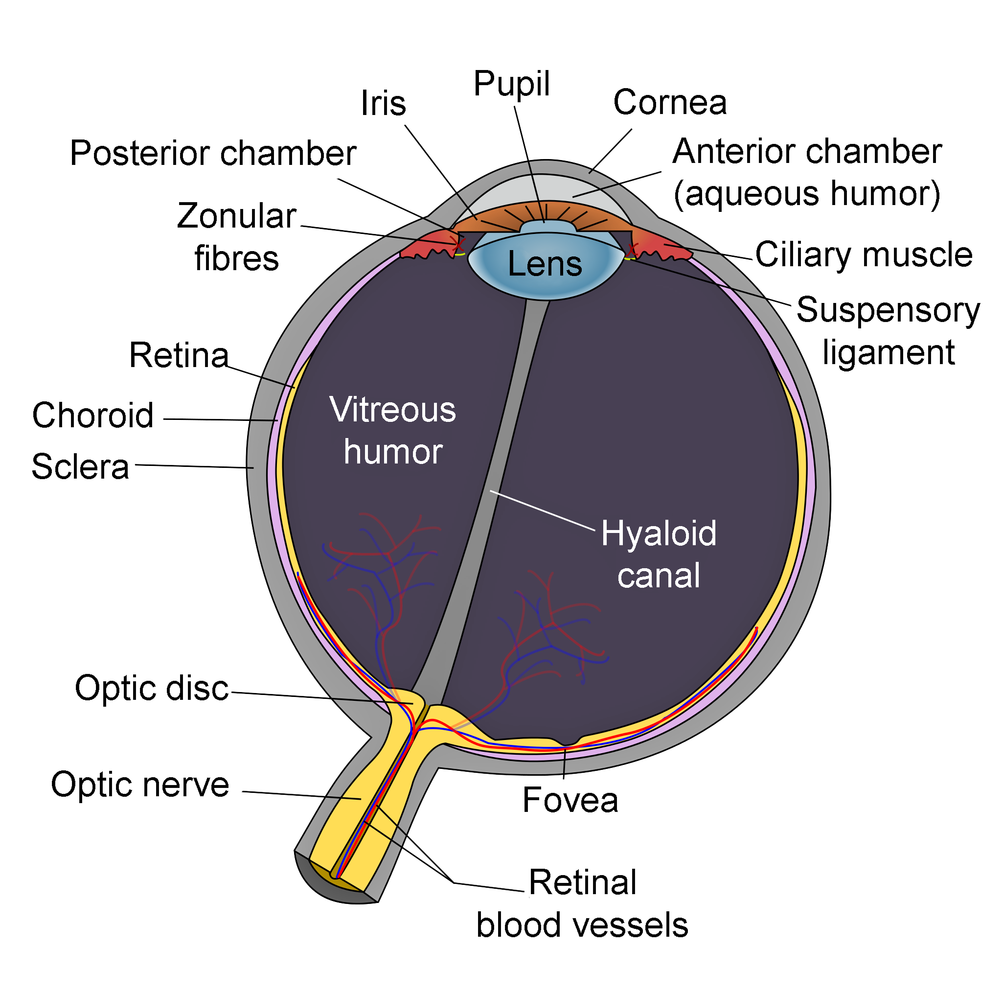 Pin By Nag Champa On Zoology Pinterest Eyes Anatomy And Lens