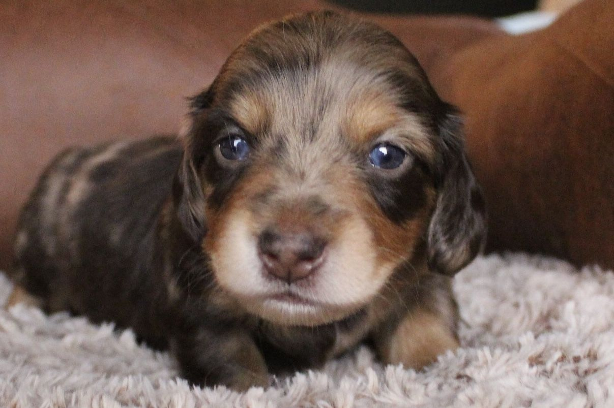 Chocolate Dapple Longhair Male Miniature Dachshund Www