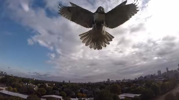 Watch a new video of a hawk attacking a drone to defend its territory.