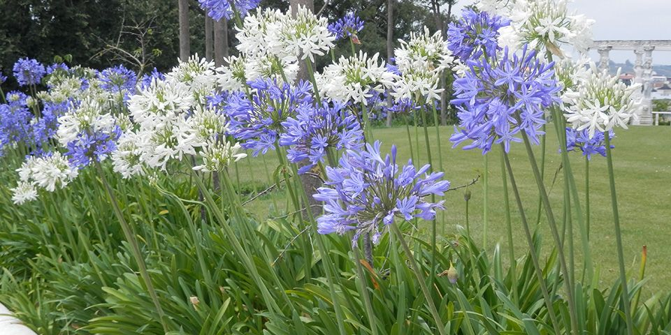 Agapanthus Vibrant Colourful Flowers And Shiny Green Leaves Can Really Brighten Up Your Garden Read Bunnings Agapanthus Plants Agapanthus Plant Agapanthus