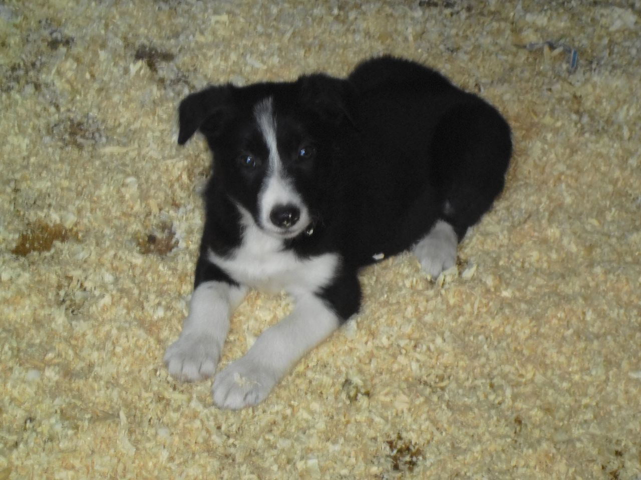 Border Collie Puppy Collie Puppies Border Collie Puppies