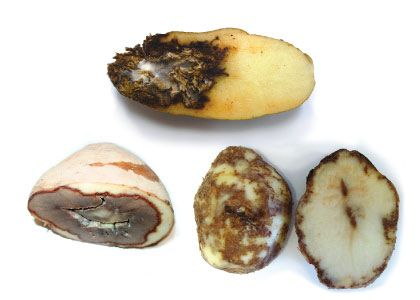 Disease Watch-The major threats this potato storage season--and how to manage or prevent them.
