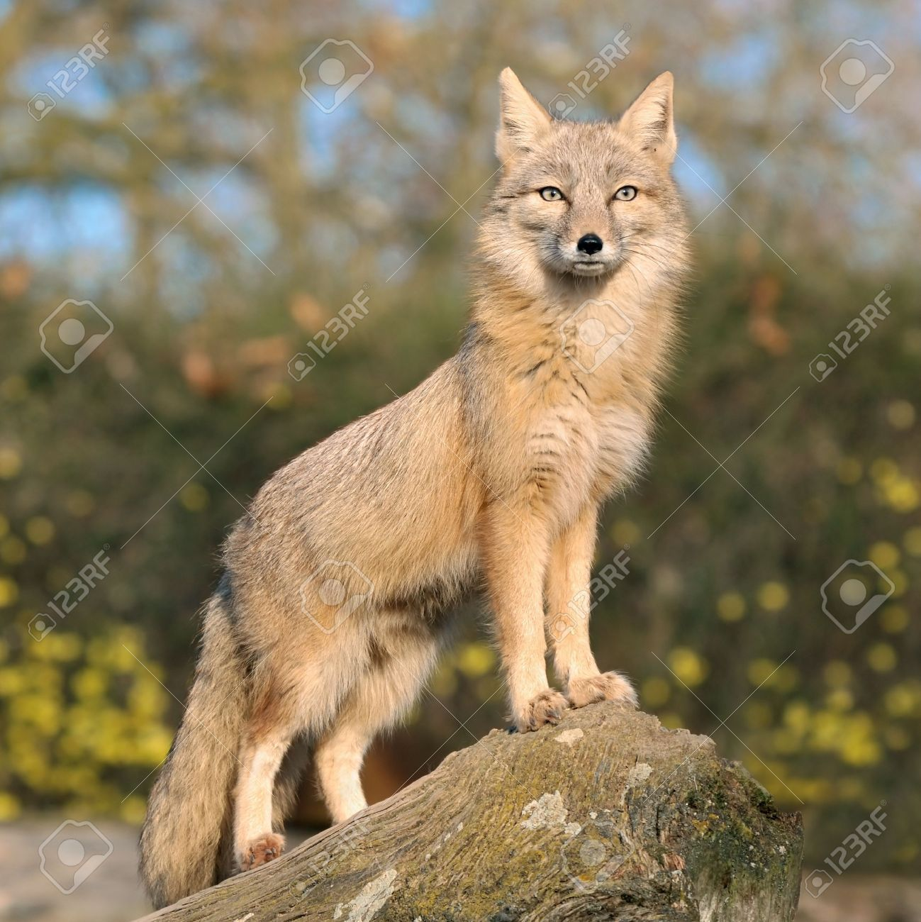 Light brown fox standing on a rock and peering ...