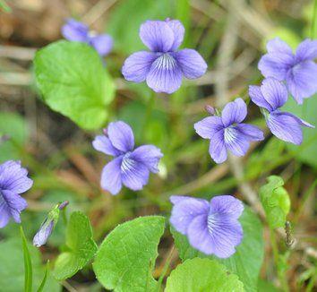 Viola Adunca Native Plant Gardening Plants Lavender Blossoms