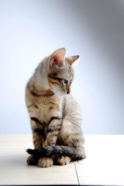 Kostenloses Bild Auf Pixabay Haustier Katze Kleine Katze