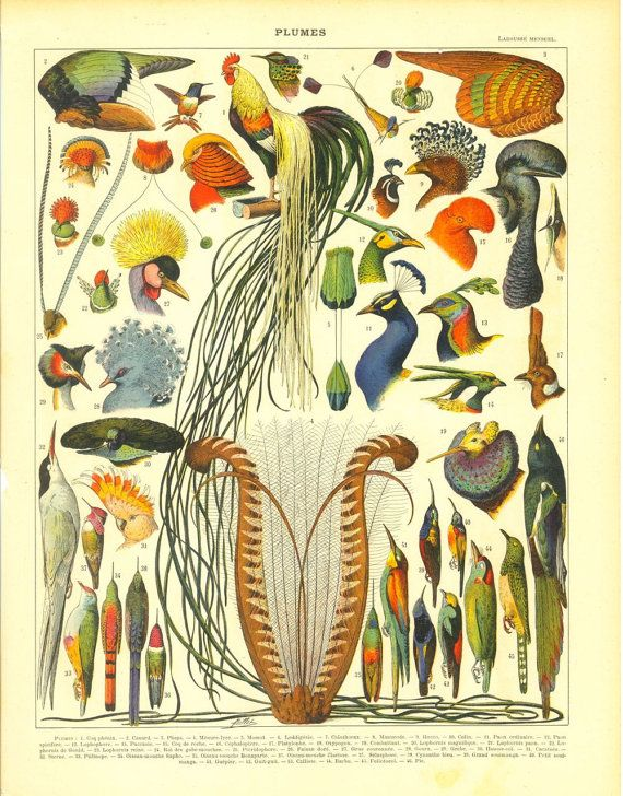 1910s  Print of Feathers and Birds French Color by CarambasVintage, $16.00