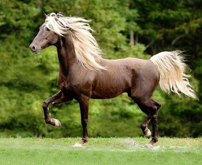 Chocolate Silver Dapple Rocky Mountain Horse Stallion