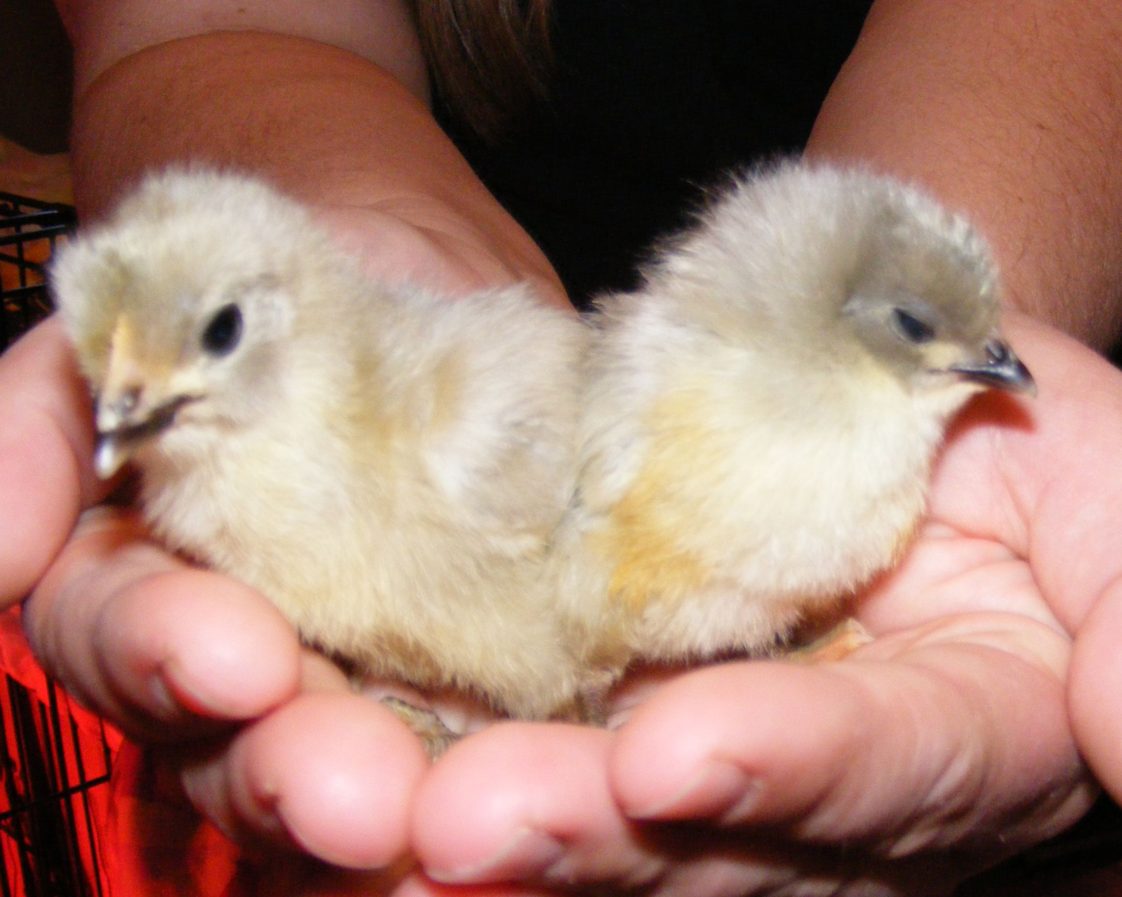 Al And Loretta Our Mascot Chicks Named For Dear Friends Who Helped Us Purchase The Land For Our Homestead Lavendar Orpington Bluish Lavendar Guys And Girls