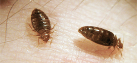 Photo Harold Harlan Bed Bugs On A Person S Skin With Images