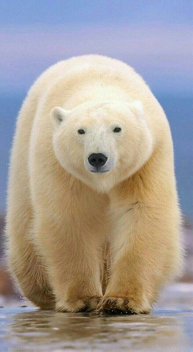 Whoa What A Big Beauty Polar Bear