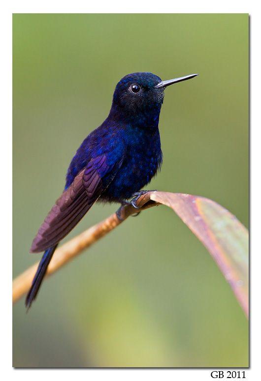 Hummingbirds - Nature Animals Birds Hummingbird ROYAL SUNANGEL