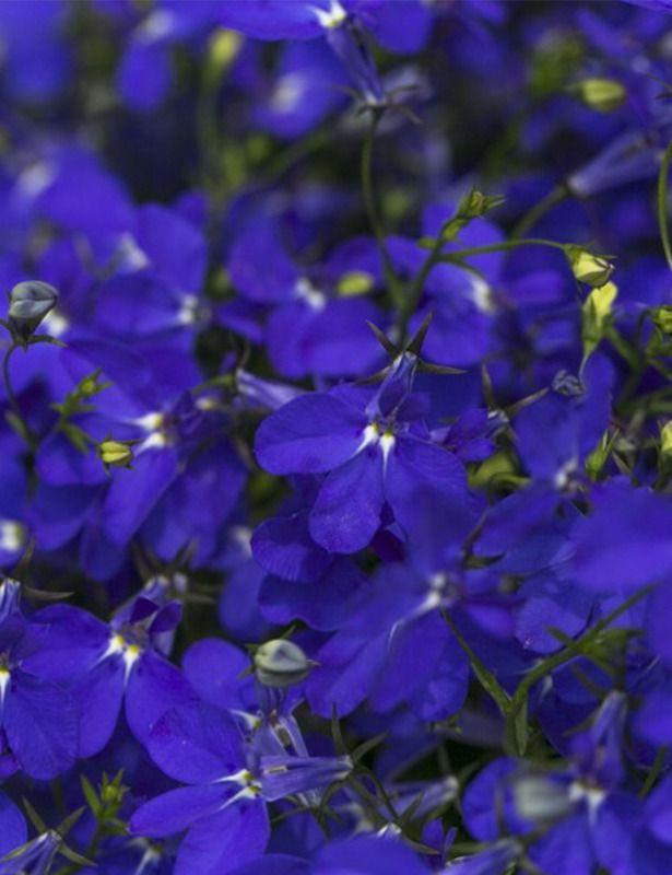 Plant Lobelia Hot Royal Blue Theres No Place Like Home