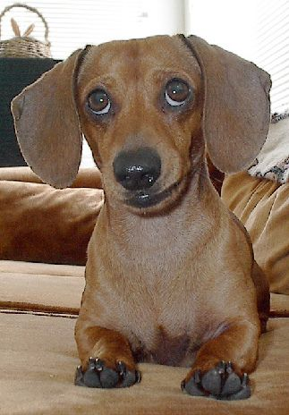 Funny Dachshund Pup Pic Baby Dogs Funny Dachshund Weenie Dogs