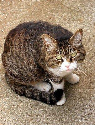 Tabby Cat With White Paws And White Neck Awwwwwwwwwwwwww