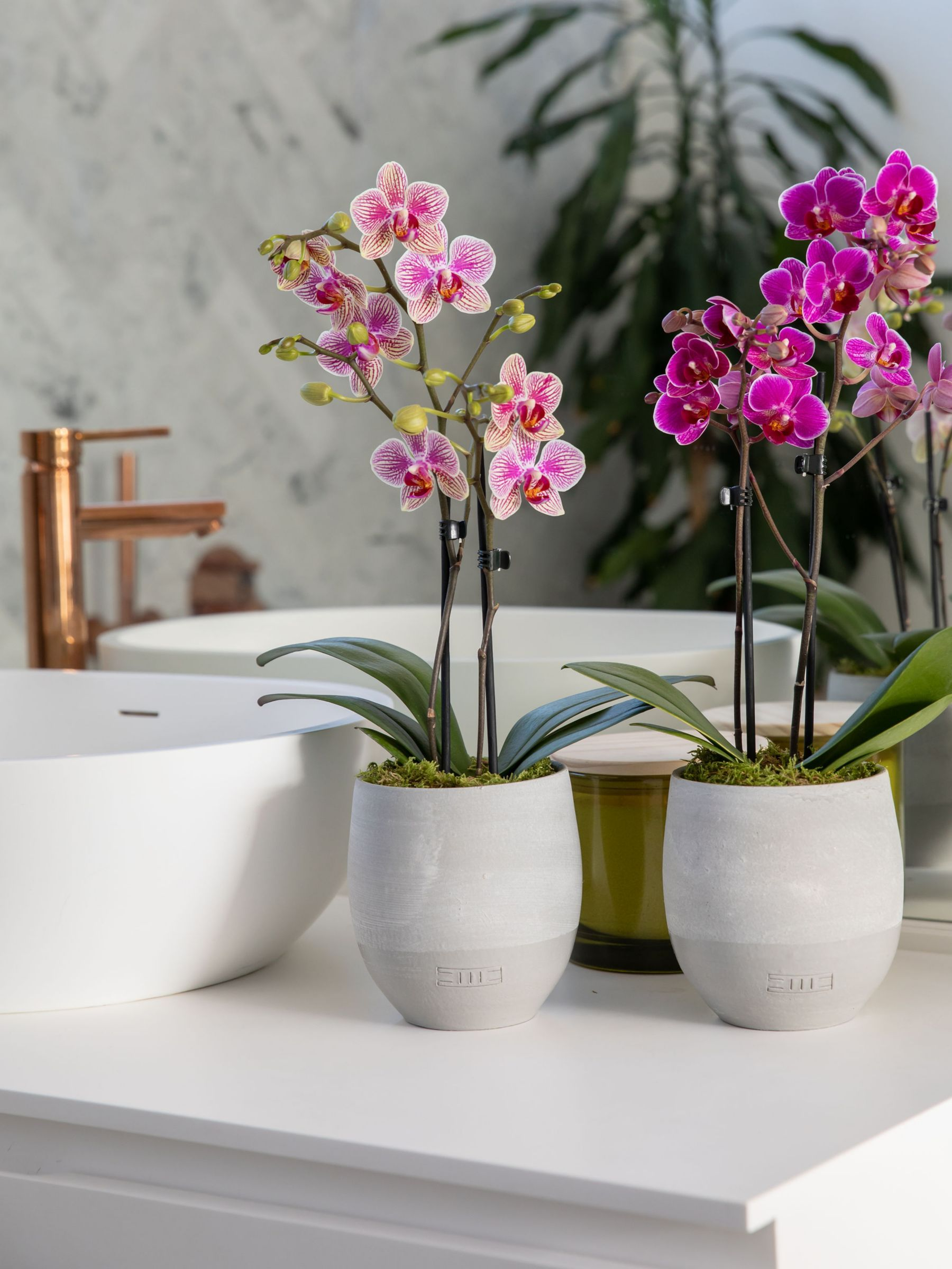 The Little Botanical Mini Orchid Duo Orchids Orchid Pot Moth