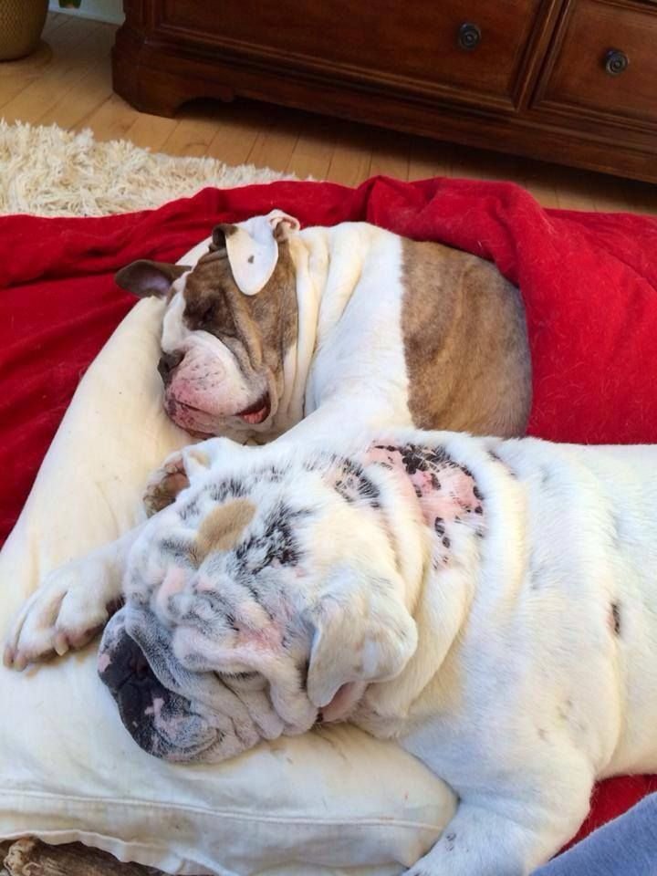 Sleep In Sunday Posted On Chicago English Bulldog Rescue
