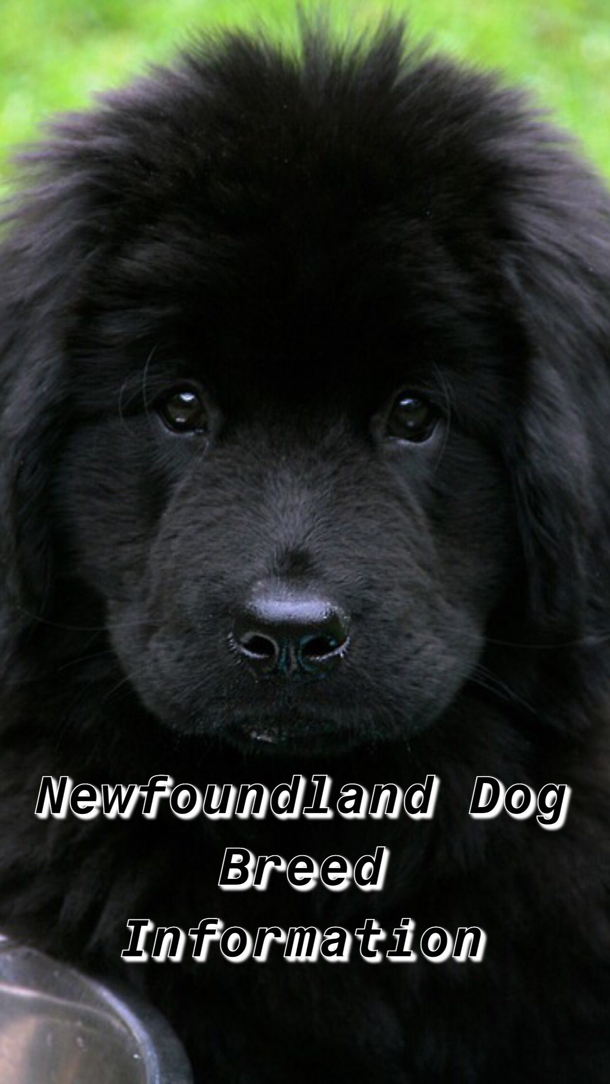 newfoundland newfoundland puppies landseer newfoundland