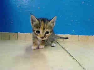Adopt Mason on American shorthair cat, Baby kittens