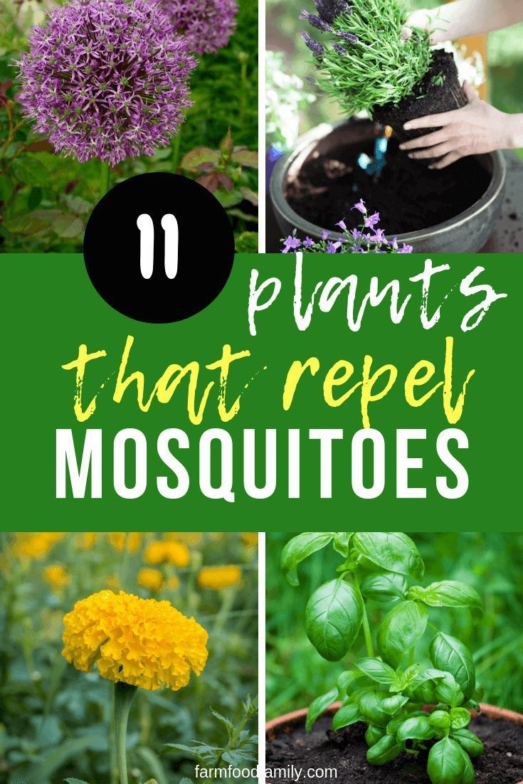 Natural Mosquito Repellents: 11 [BEST] Plants That Repel Mosquitoes #mosquitoplants 11 Mosquitoes Repellent Plants #plantsthatrepelmosquitoes
