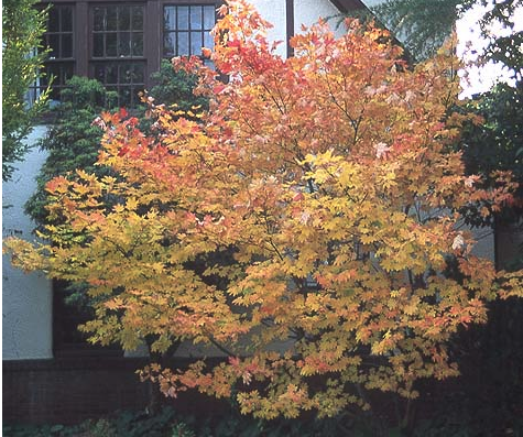 A Beautiful Vine Maple Tree For Fall Color Orange Garden Pinterest Trees Colors And The O Jays