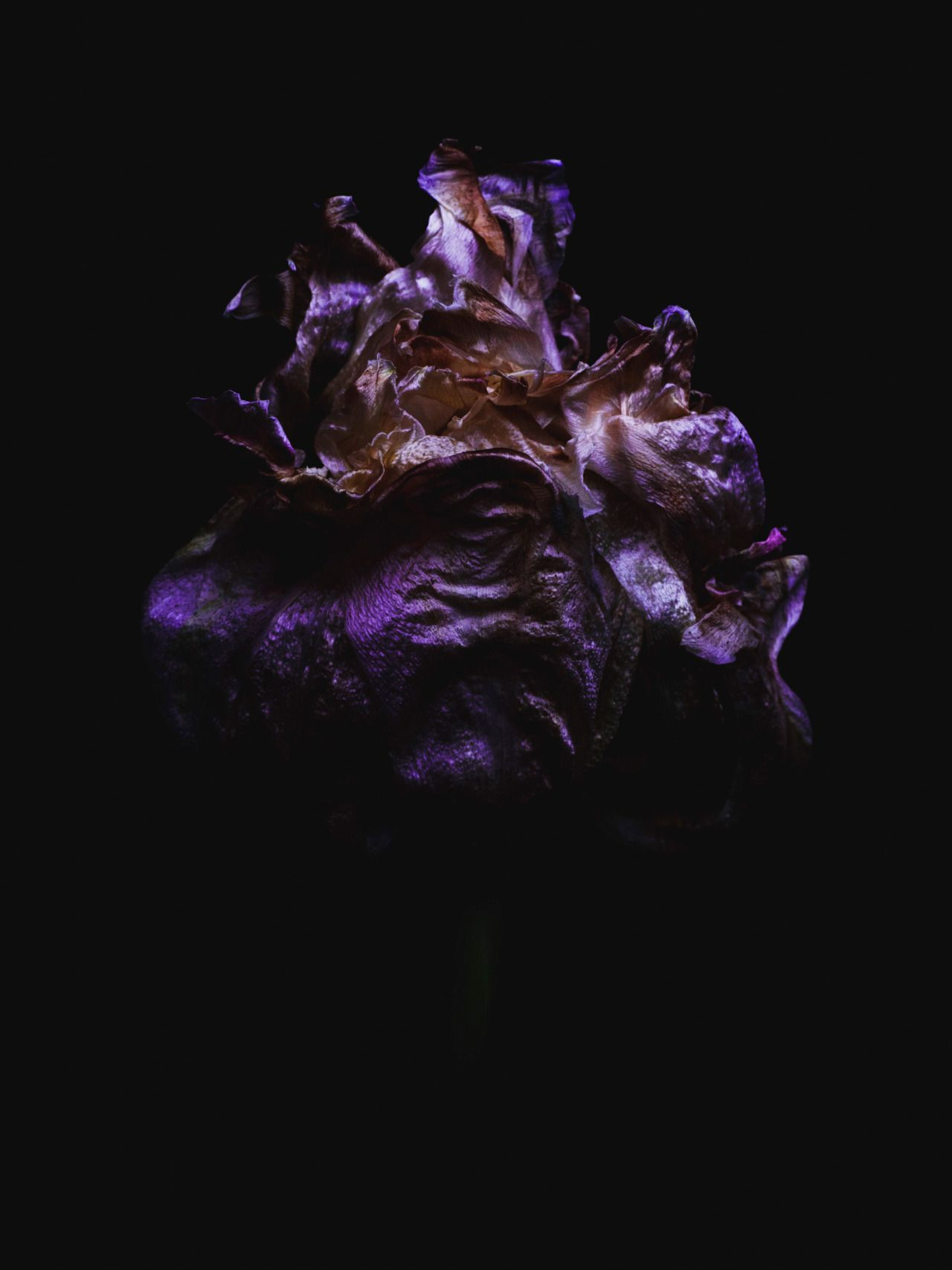 Decaying tulip shot by Billy Kidd