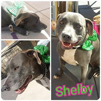 Fenton, MO - Pit Bull Terrier Mix. Meet Shelby, a dog for adoption. http://www.adoptapet.com/pet/15002547-fenton-missouri-pit-bull-terrier-mix