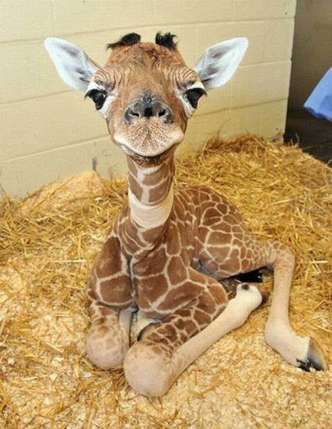 Image result for baby giraffe